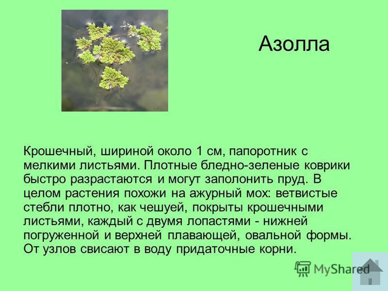 Азолла Крошечный, шириной около 1 см, папоротник с мелкими листьями. Плотные бледно-зеленые коврики быстро разрастаются и могут заполонить пруд. В целом растения похожи на ажурный мох: ветвистые стебли плотно, как чешуей, покрыты крошечными листьями,