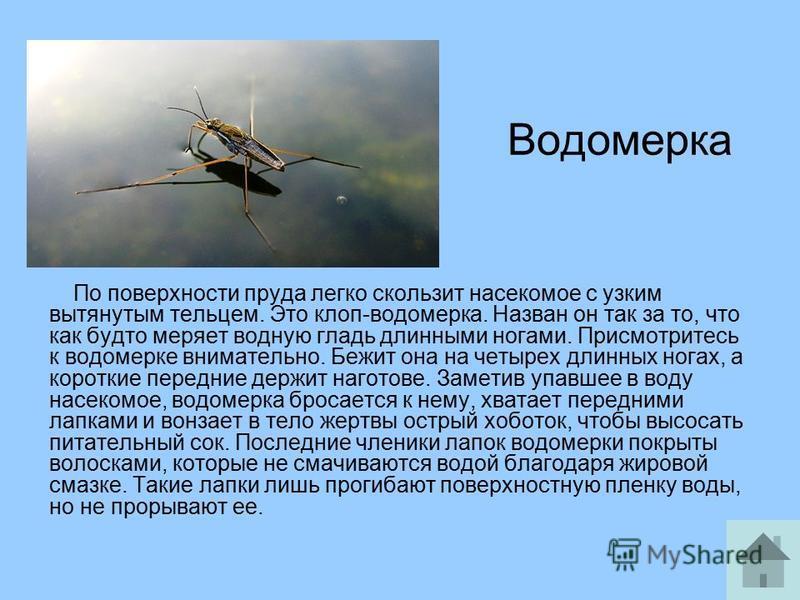 Водомерка По поверхности пруда легко скользит насекомое с узким вытянутым тельцем. Это клоп-водомерка. Назван он так за то, что как будто меряет водную гладь длинными ногами. Присмотритесь к водомерке внимательно. Бежит она на четырех длинных ногах,