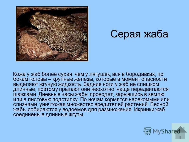 Серая жаба Кожа у жаб более сухая, чем у лягушек, вся в бородавках, по бокам головы – крупные железы, которые в момент опасности выделяют жгучую жидкость. Задние ноги у жаб не слишком длинные, поэтому прыгают они неохотно, чаще передвигаются шажками.