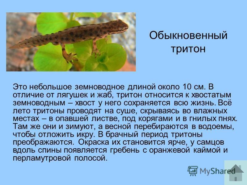 Обыкновенный тритон Это небольшое земноводное длиной около 10 см. В отличие от лягушек и жаб, тритон относится к хвостатым земноводным – хвост у него сохраняется всю жизнь. Всё лето тритоны проводят на суше, скрываясь во влажных местах – в опавшей ли