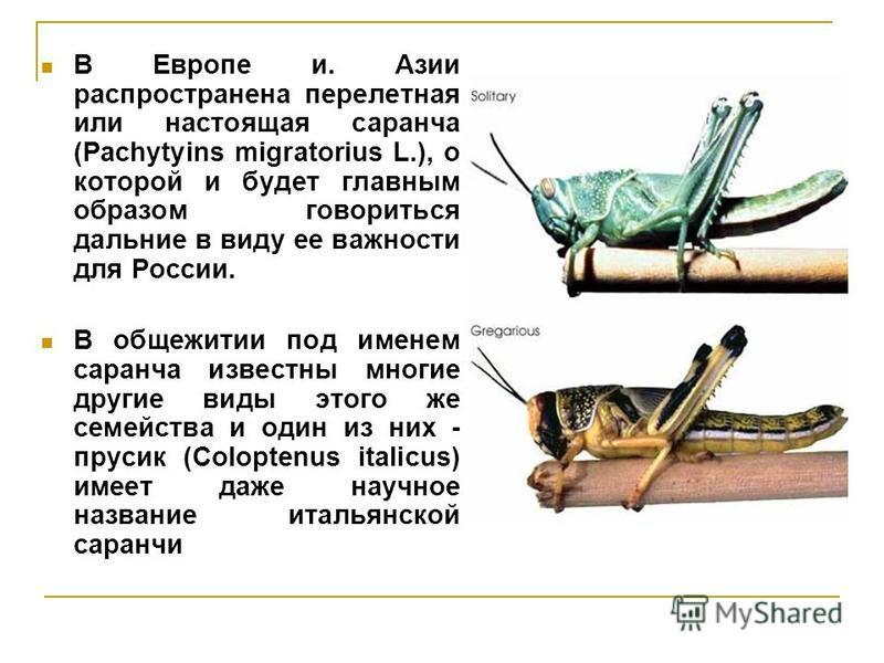 В Европе и. Азии распространена перелетная или настоящая саранча (Pachytyins migratorius L.), о которой и будет главным образом говориться дальние в виду ее важности для России. В общежитии под именем саранча известны многие другие виды этого же семе