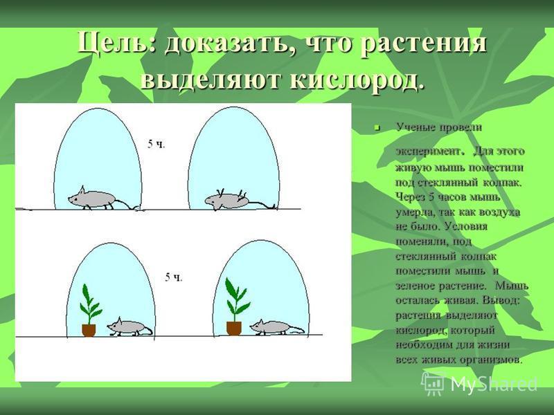 Цель: доказать, что растения выделяют кислород. Ученые провели эксперимент. Для этого живую мышь поместили под стеклянный колпак. Через 5 часов мышь умерла, так как воздуха не было. Условия поменяли, под стеклянный колпак поместили мышь и зеленое рас
