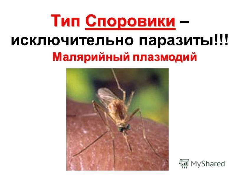 Тип Споровики Тип Споровики – исключительно паразиты!!! Малярийный плазмодий