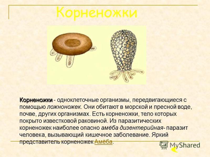 Корненожки Корненожки - одноклеточные организмы, передвигающиеся с помощью ложноножек. Они обитают в морской и пресной воде, почве, других организмах. Есть корненожки, тело которых покрыто известковой раковиной. Из паразитических корненожек наиболее