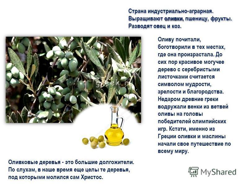 оливки Страна индустриально-аграрная. Выращивают оливки, пшеницу, фрукты. Разводят овец и коз. Оливу почитали, боготворили в тех местах, где она произрастала. До сих пор красивое могучее дерево с серебристыми листочками считается символом мудрости, з