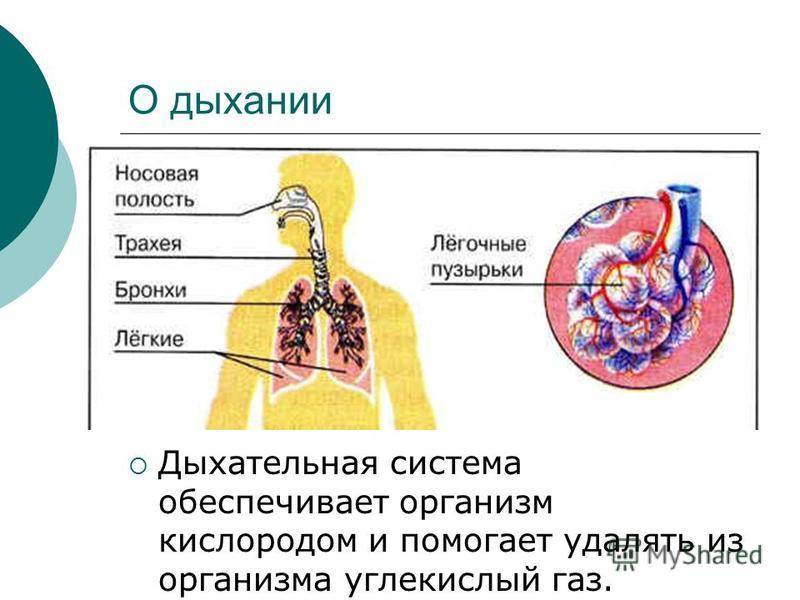 О дыхании Дыхательная система обеспечивает организм кислородом и помогает удалять из организма углекислый газ.