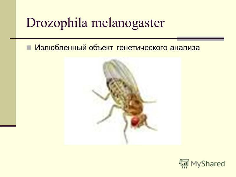 Drozophila melanogaster Излюбленный объект генетического анализа