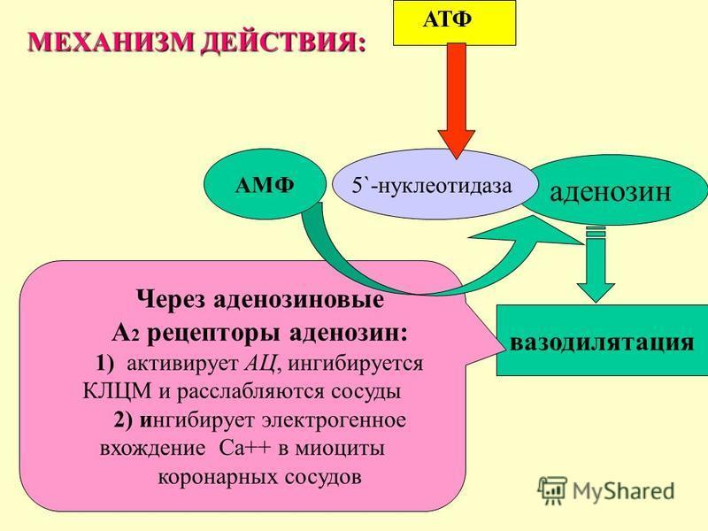 вазодилатация аденозин АТФ 5`-нуклеотидаза Через аденозиновые А 2 рецепторы аденозин: 1) активирует АЦ, ингибируется КЛЦМ и расслабляются сосуды 2) ингибирует электрогенное вхождение Са++ в миоциты коронарных сосудов АМФ МЕХАНИЗМ ДЕЙСТВИЯ: