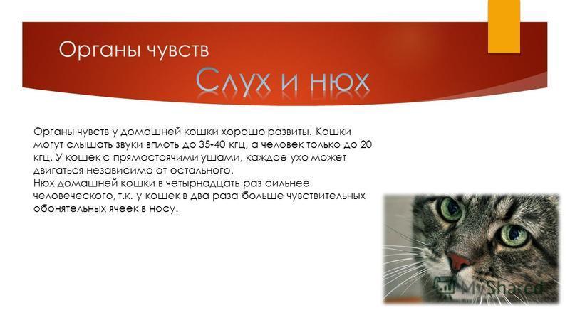 Органы чувств Органы чувств у домашней кошки хорошо развиты. Кошки могут слышать звуки вплоть до 35-40 кгц, а человек только до 20 кгц. У кошек с прямостоячими ушами, каждое ухо может двигаться независимо от остального. Нюх домашней кошки в четырнадц