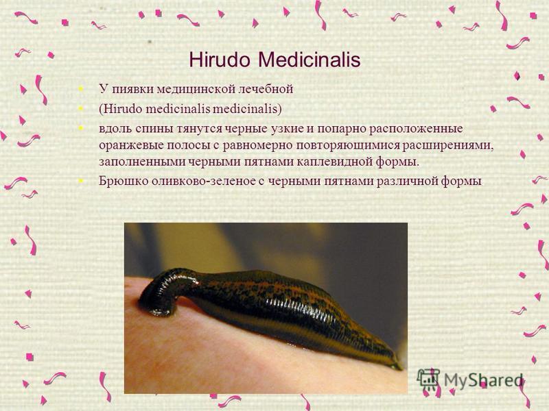 Hirudo Medicinalis У пиявки медицинской лечебной (Hirudo medicinalis medicinalis) вдоль спины тянутся черные узкие и попарно расположенные оранжевые полосы с равномерно повторяющимися расширениями, заполненными черными пятнами каплевидной формы. Брюш
