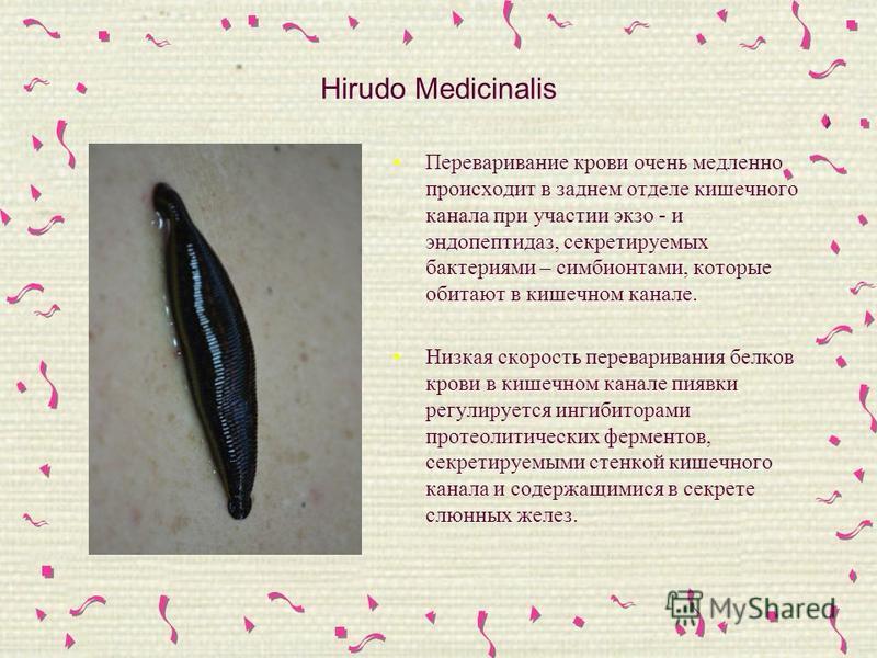 Hirudo Medicinalis Переваривание крови очень медленно происходит в заднем отделе кишечного канала при участии экзо - и эндопептидаз, секретируемых бактериями – симбионтами, которые обитают в кишечном канале. Низкая скорость переваривания белков крови
