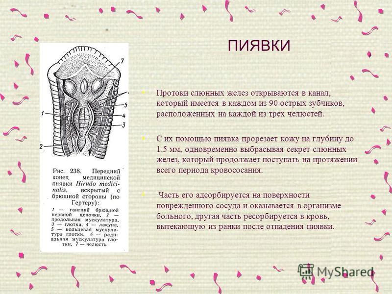 ПИЯВКИ Протоки слюнных желез открываются в канал, который имеется в каждом из 90 острых зубчиков, расположенных на каждой из трех челюстей. С их помощью пиявка прорезает кожу на глубину до 1.5 мм, одновременно выбрасывая секрет слюнных желез, который