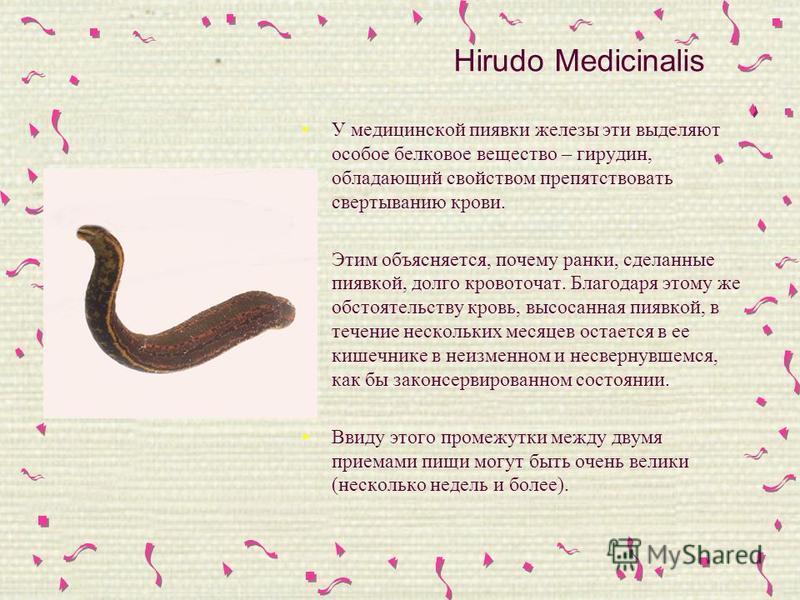 Hirudo Medicinalis У медицинской пиявки железы эти выделяют особое белковое вещество – гирудин, обладающий свойством препятствовать свертыванию крови. Этим объясняется, почему ранки, сделанные пиявкой, долго кровоточат. Благодаря этому же обстоятельс