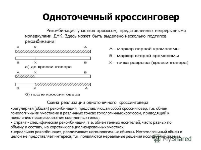 Одноточечный кроссинговер Рекомбинация участков хромосом, представленных непрерывными моледкулами ДНК. Здесь может быть выделено несколько подтипов рекомбинации: регулярная (общая) рекомбинация, представляющая собой кроссинговер, т.е. обмен гомологич