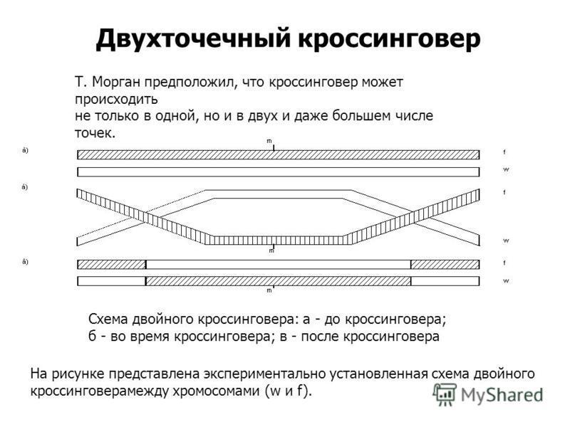 Двухточечный кроссинговер Т. Морган предположил, что кроссинговер может происходить не только в одной, но и в двух и даже большем числе точек. Схема двойного кроссинговера: а - до кроссинговера; б - во время кроссинговера; в - после кроссинговера На