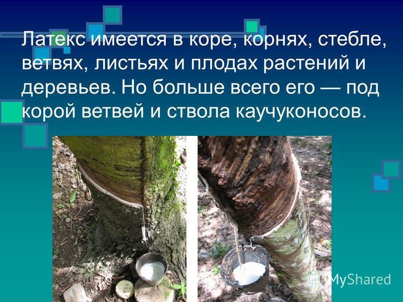Латекс имеется в коре, корнях, стебле, ветвях, листьях и плодах растений и деревьев. Но больше всего его под корой ветвей и ствола каучуконосов.