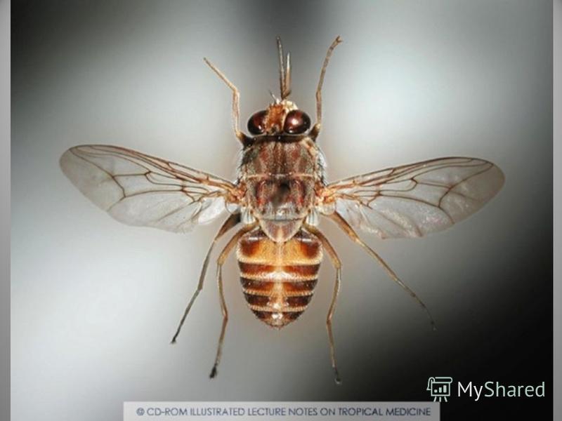 Сонная болезнь или африканский трипаносомоз заболевание людей и животных, вызываемое паразитическим простейшим, переносчиком которого является муха цеце.