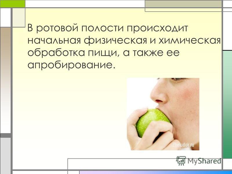В ротовой полости происходит начальная физическая и химическая обработка пищи, а также ее апробирование.