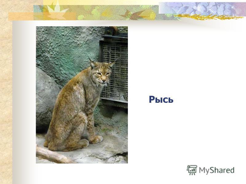 Узнай животное по описанию Быстрое, ловкое, хищное животное, обитающее в наших лесах, из рода кошачьих.