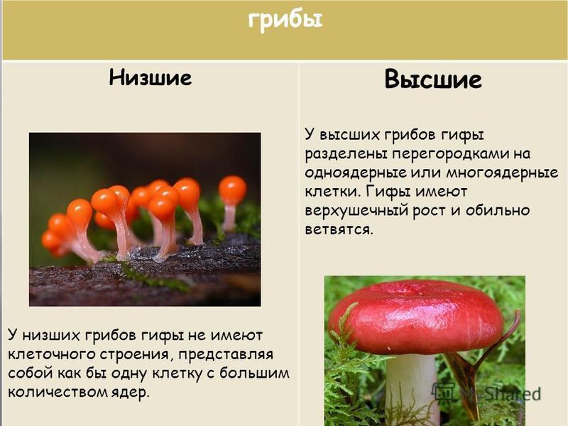 грибы Низшие У низших грибов гифы не имеют клеточного строения, представляя собой как бы одну клетку с большим количеством ядер. Высшие У высших грибов гифы разделены перегородками на одноядерные или многоядерные клетки. Гифы имеют верхушечный рост и