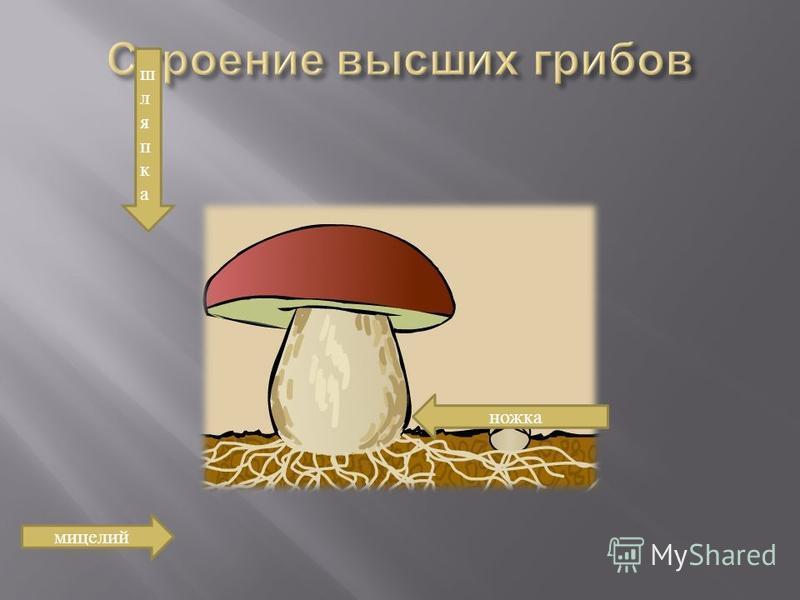 шляпка ножка мицелий