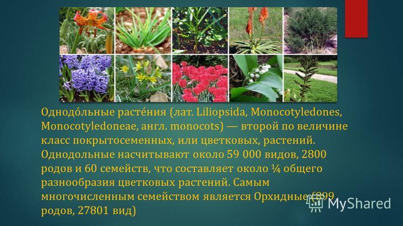 Однодо́льные расте́ния (лат. Liliopsida, Monocotyledones, Monocotyledoneae, англ. monocots) второй по величине класс покрытосеменных, или цветковых, растений. Однодольные насчитывают около 59 000 видов, 2800 родов и 60 семейств, что составляет около
