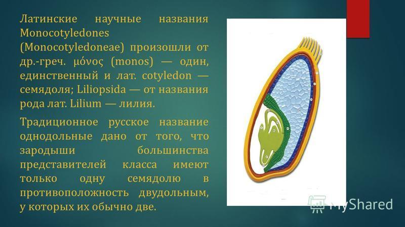 Латинские научные названия Monocotyledones (Monocotyledoneae) произошли от др.-греч. μόνος (monos) один, единственный и лат. cotyledon семядоля; Liliopsida от названия рода лат. Lilium лилия. Традиционное русское название однодольные дано от того, чт