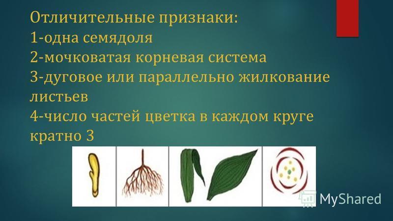 Отличительные признаки: 1-одна семядоля 2-мочковатая корневая система 3-дуговое или параллельно жилкование листьев 4-число частей цветка в каждом круге кратно 3