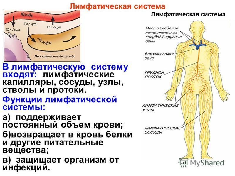 В лимфатическую систему входят: лимфатические капилляры, сосуды, узлы, стволы и протоки. Функции лимфатической системы: а) поддерживает постоянный объем крови; б)возвращает в кровь белки и другие питательные вещества; в) защищает организм от инфекций
