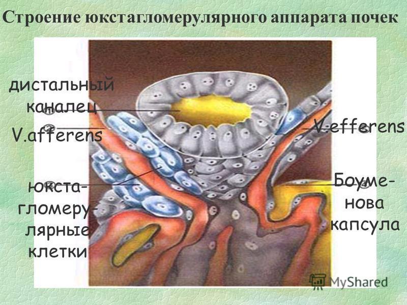 Строение юкстагломерулярного аппарата почек дистальный каналец V.afferens юкста- гломеру- лярные клетки Боуме- нова капсула V.efferens