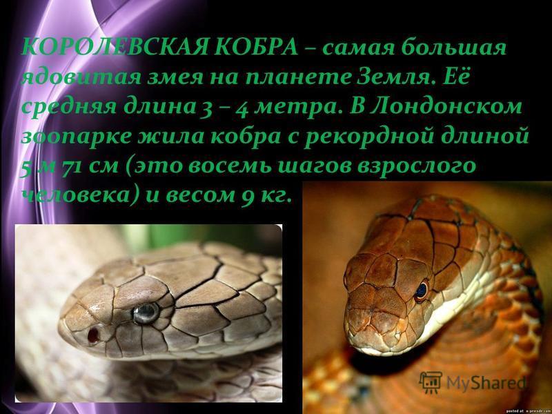 Page 2 КОРОЛЕВСКАЯ КОБРА – самая большая ядовитая змея на планете Земля. Её средняя длина 3 – 4 метра. В Лондонском зоопарке жила кобра с рекордной длиной 5 м 71 см (это восемь шагов взрослого человека) и весом 9 кг.