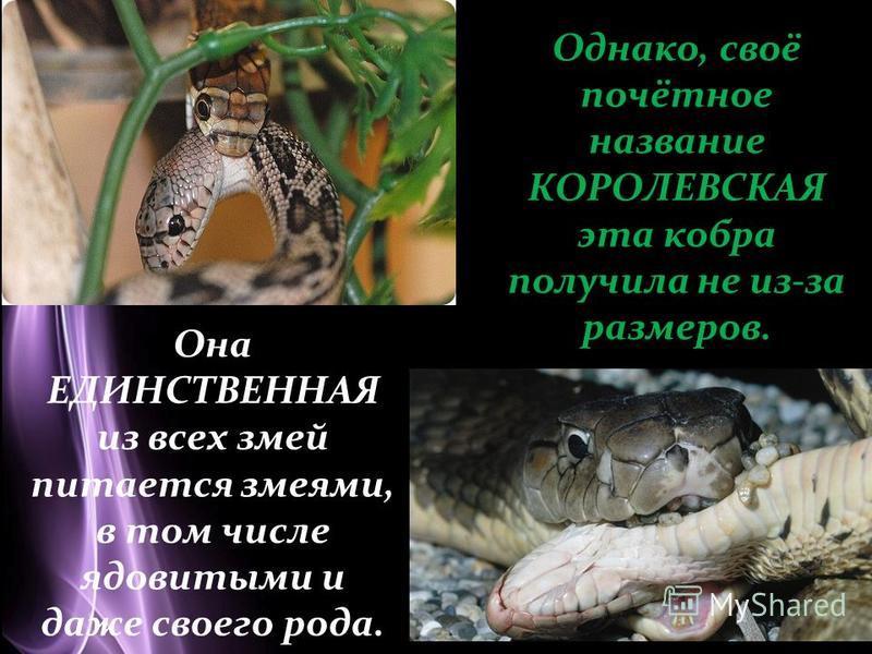 Page 4 Однако, своё почётное название КОРОЛЕВСКАЯ эта кобра получила не из-за размеров. Она ЕДИНСТВЕННАЯ из всех змей питается змеями, в том числе ядовитыми и даже своего рода.
