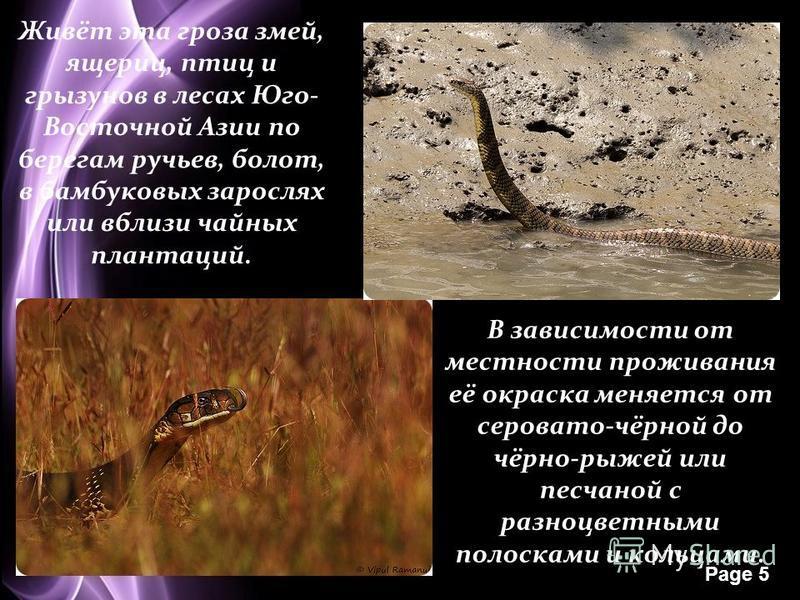 Page 5 Живёт эта гроза змей, ящериц, птиц и грызунов в лесах Юго- Восточной Азии по берегам ручьев, болот, в бамбуковых зарослях или вблизи чайных плантаций. В зависимости от местности проживания её окраска меняется от серовато-чёрной до чёрно-рыжей