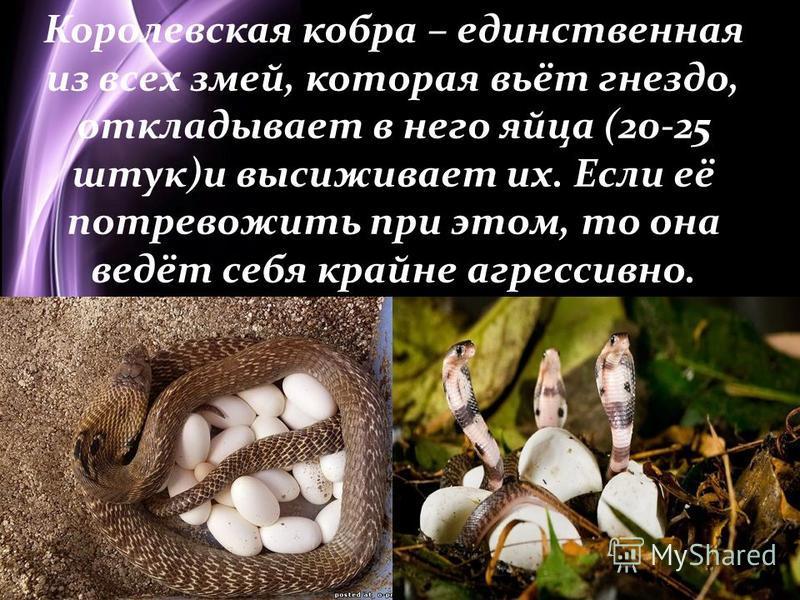 Page 9 Королевская кобра – единственная из всех змей, которая вьёт гнездо, откладывает в него яйца (20-25 штук)и высиживает их. Если её потревожить при этом, то она ведёт себя крайне агрессивно.