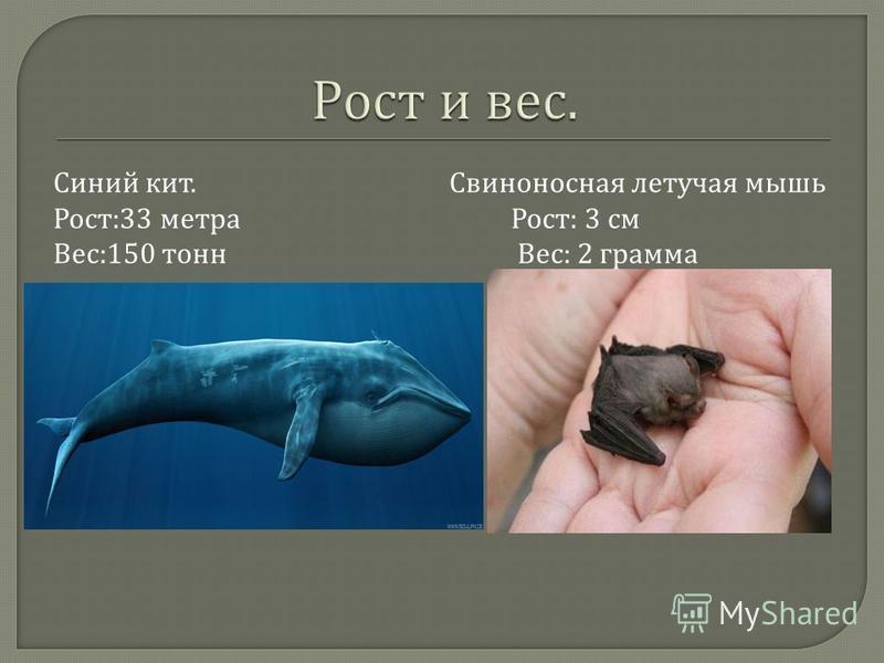 Синий кит. Свиноносная летучая мышь Рост :33 метра Рост : 3 см Вес :150 тонн Вес : 2 грамма