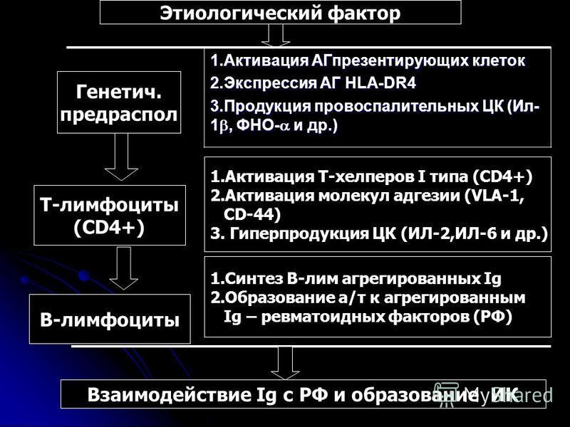 Этиологический фактор 1. Активация АГпрезентирующих клеток 2. Экспрессия АГ HLA-DR4 3. Продукция провоспалительных ЦК (Ил- 1, ФНО- и др.) Генетич. предраспол Т-лимфоциты (CD4+) 1. Активация Т-хелперов I типа (CD4+) 2. Активация молекул адгезии (VLA-1