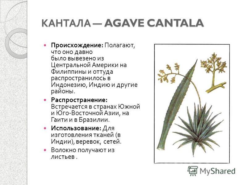 КАНТАЛА AGAVE CANTALA Происхождение : Полагают, что оно давно было вывезено из Центральной Америки на Филиппины и оттуда распространилось в Индонезию, Индию и другие районы. Распространение : Встречается в странах Южной и Юго - Восточной Азии, на Гаи