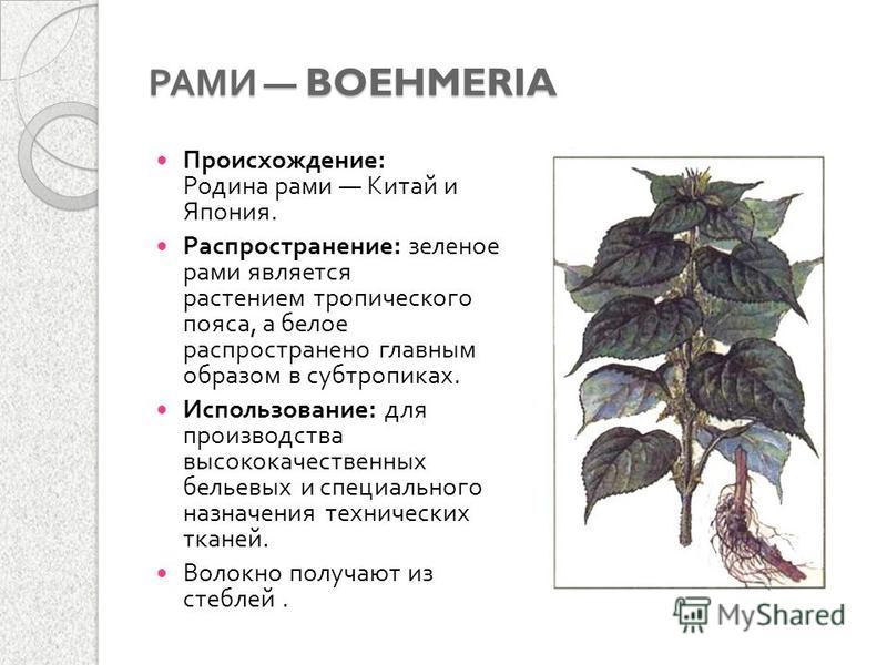 РАМИ BOEHMERIA Происхождение : Родина рами Китай и Япония. Распространение : зеленое рами является растением тропического пояса, а белое распространено главным образом в субтропиках. Использование : для производства высококачественных бельевых и спец