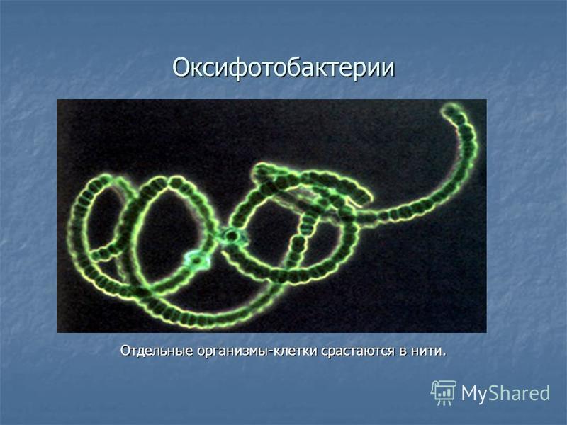 Оксифотобактерии Отдельные организмы-клетки срастаются в нити.