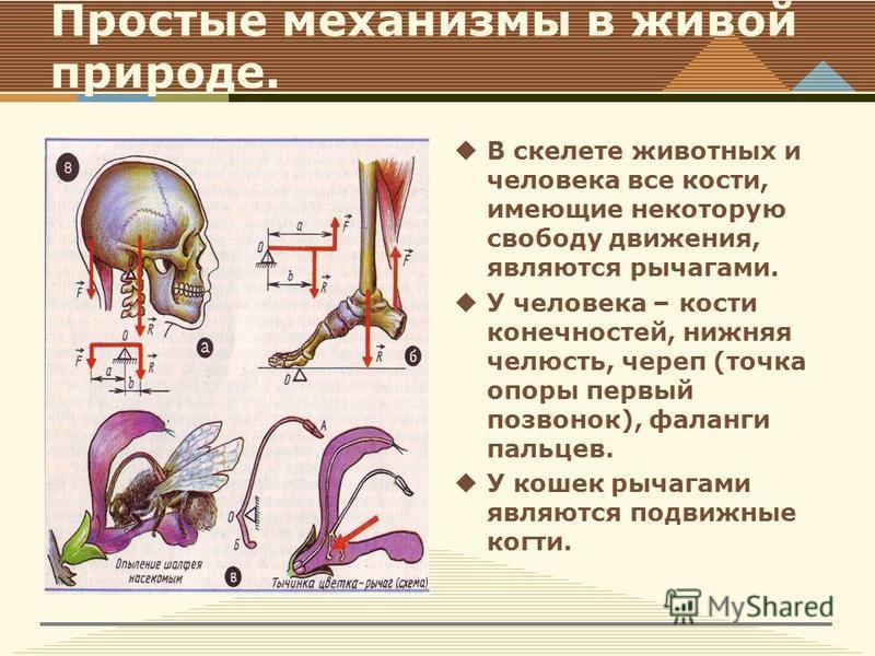 Простые механизмы в живой природе. В скелете животных и человека все кости, имеющие некоторую свободу движения, являются рычагами. У человека – кости конечностей, нижняя челюсть, череп (точка опоры первый позвонок), фаланги пальцев. У кошек рычагами