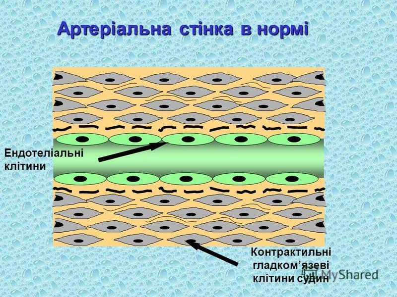 Артеріальна стінка в нормі Ендотеліальні клітини Контрактильні гладкомязеві клітини судин