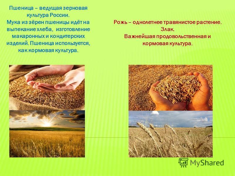 Пшеница – ведущая зерновая культура России. Мука из зёрен пшеницы идёт на выпекание хлеба, изготовление макаронных и кондитерских изделий. Пшеница используется, как кормовая культура. Рожь – однолетнее травянистое растение. Злак. Важнейшая продовольс