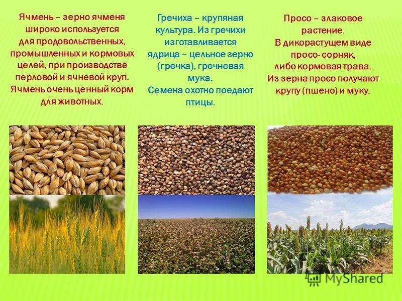 Ячмень – зерно ячменя широко используется для продовольственных, промышленных и кормовых целей, при производстве перловой и ячневой круп. Ячмень очень ценный корм для животных. Гречиха – крупяная культура. Из гречихи изготавливается ядрица – цельное