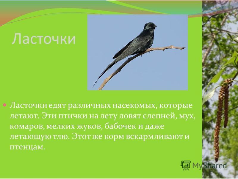 ласточка как ловить мух