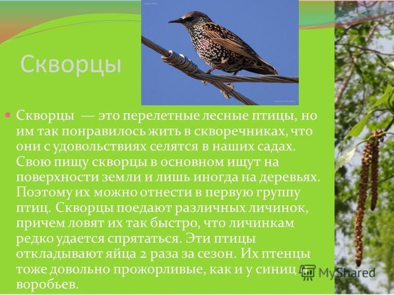 Скворцы Скворцы это перелетные лесные птицы, но им так понравилось жить в скворечниках, что они с удовольствиях селятся в наших садах. Свою пищу скворцы в основном ищут на поверхности земли и лишь иногда на деревьях. Поэтому их можно отнести в первую