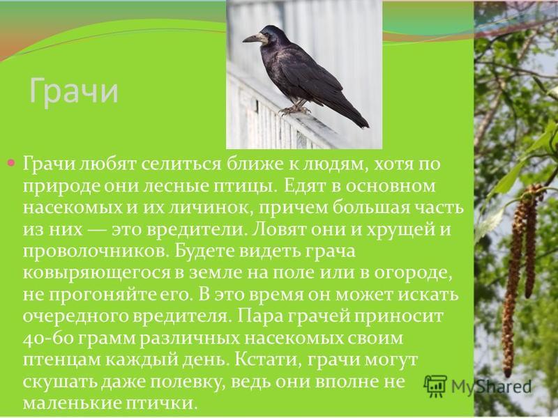 Грачи Грачи любят селиться ближе к людям, хотя по природе они лесные птицы. Едят в основном насекомых и их личинок, причем большая часть из них это вредители. Ловят они и хрущей и проволочников. Будете видеть грача ковыряющегося в земле на поле или в