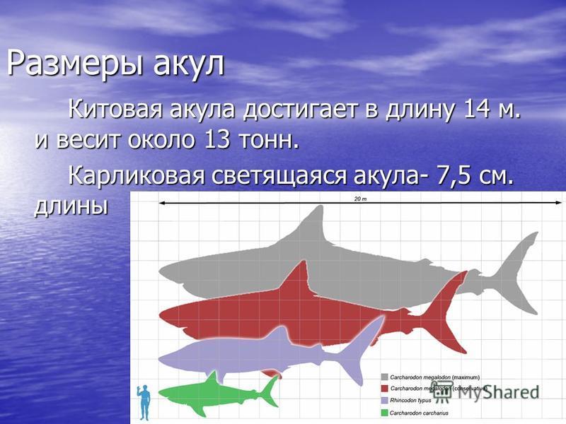 Размеры акул Китовая акула достигает в длину 14 м. и весит около 13 тонн. Карликовая светящаяся акула- 7,5 см. длины