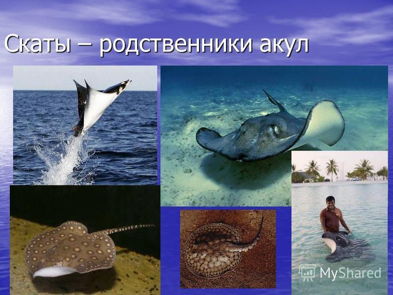 Скаты – родственники акул