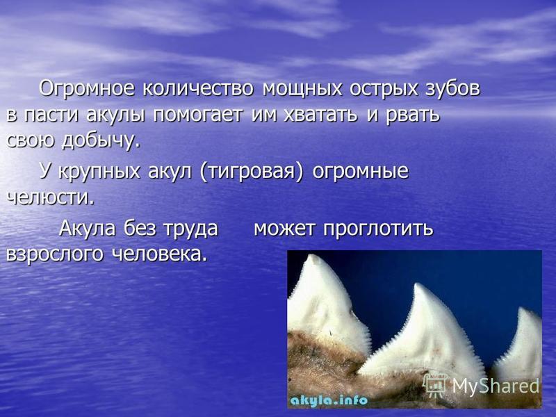 Огромное количество мощных острых зубов в пасти акулы помогает им хватать и рвать свою добычу. У крупных акул (тигровая) огромные челюсти. Акула без труда может проглотить взрослого человека. Акула без труда может проглотить взрослого человека.