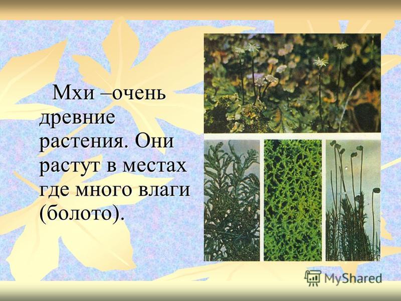 Мхи –очень древние растения. Они растут в местах где много влаги (болото). Мхи –очень древние растения. Они растут в местах где много влаги (болото).